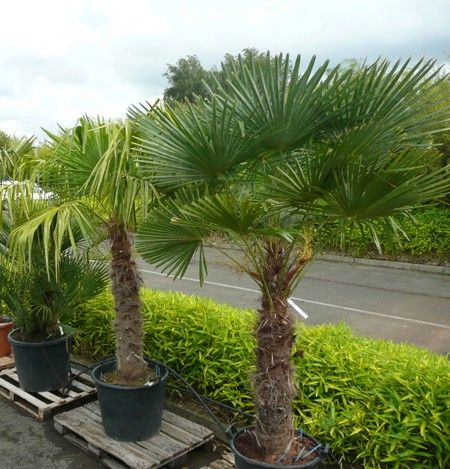 palmier d 39 exception pour l 39 ext rieur rustique jusqu 39 18 c garden pinterest gardens. Black Bedroom Furniture Sets. Home Design Ideas