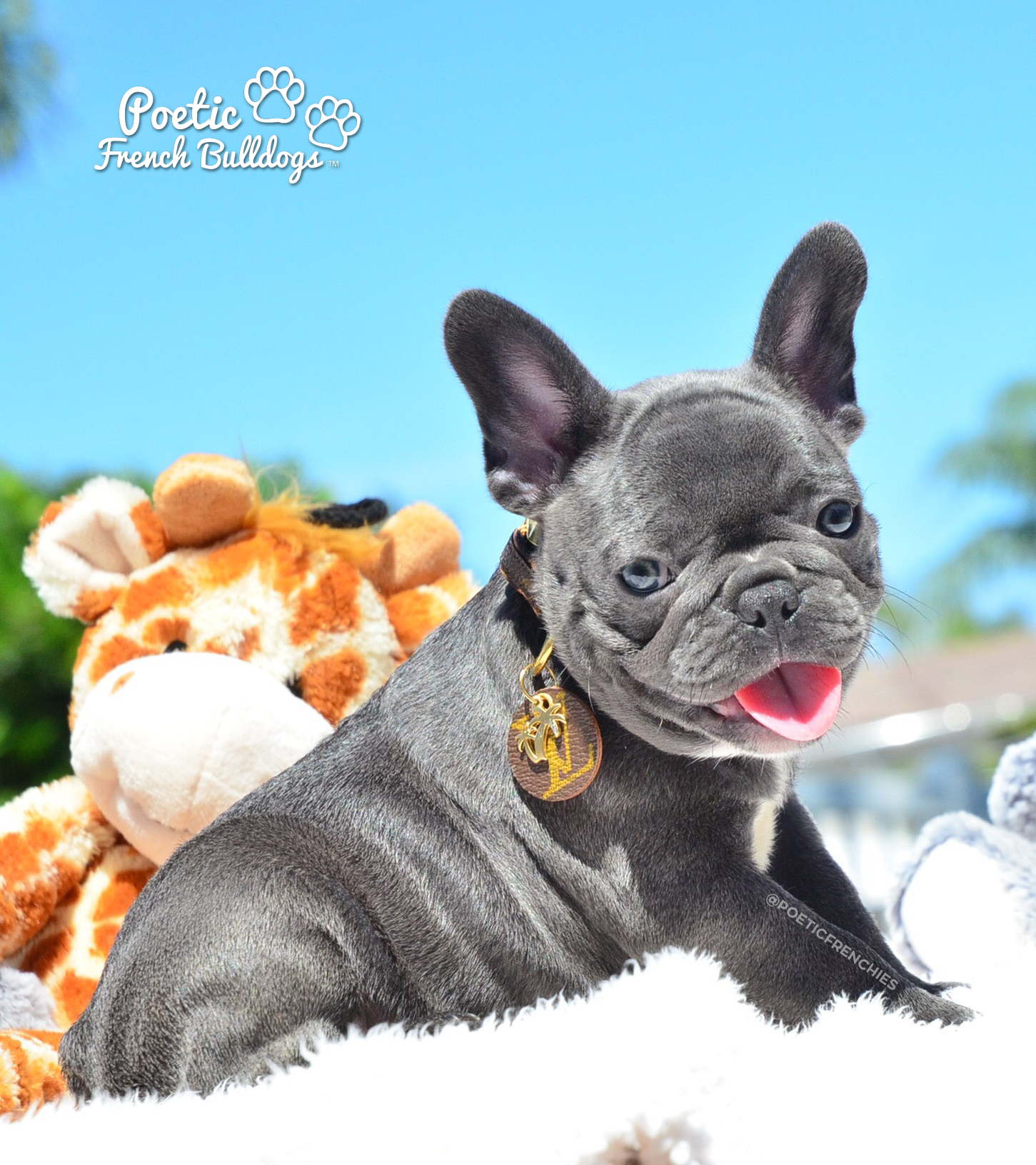 Basil Solid Blue Male Available To Loving Home Www Poeticfrenchbulldogs Com Frenchbulldog French Bulldog Bulldog French Bulldog Personality