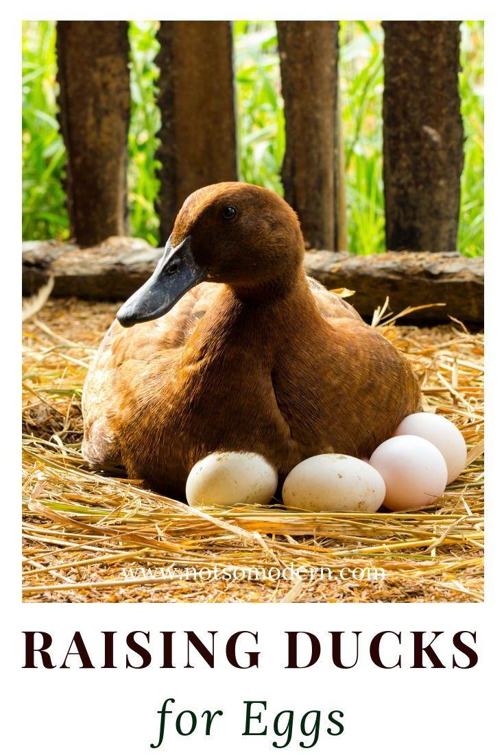 Raising Ducks for Eggs | Raising ducks, Duck eggs ...