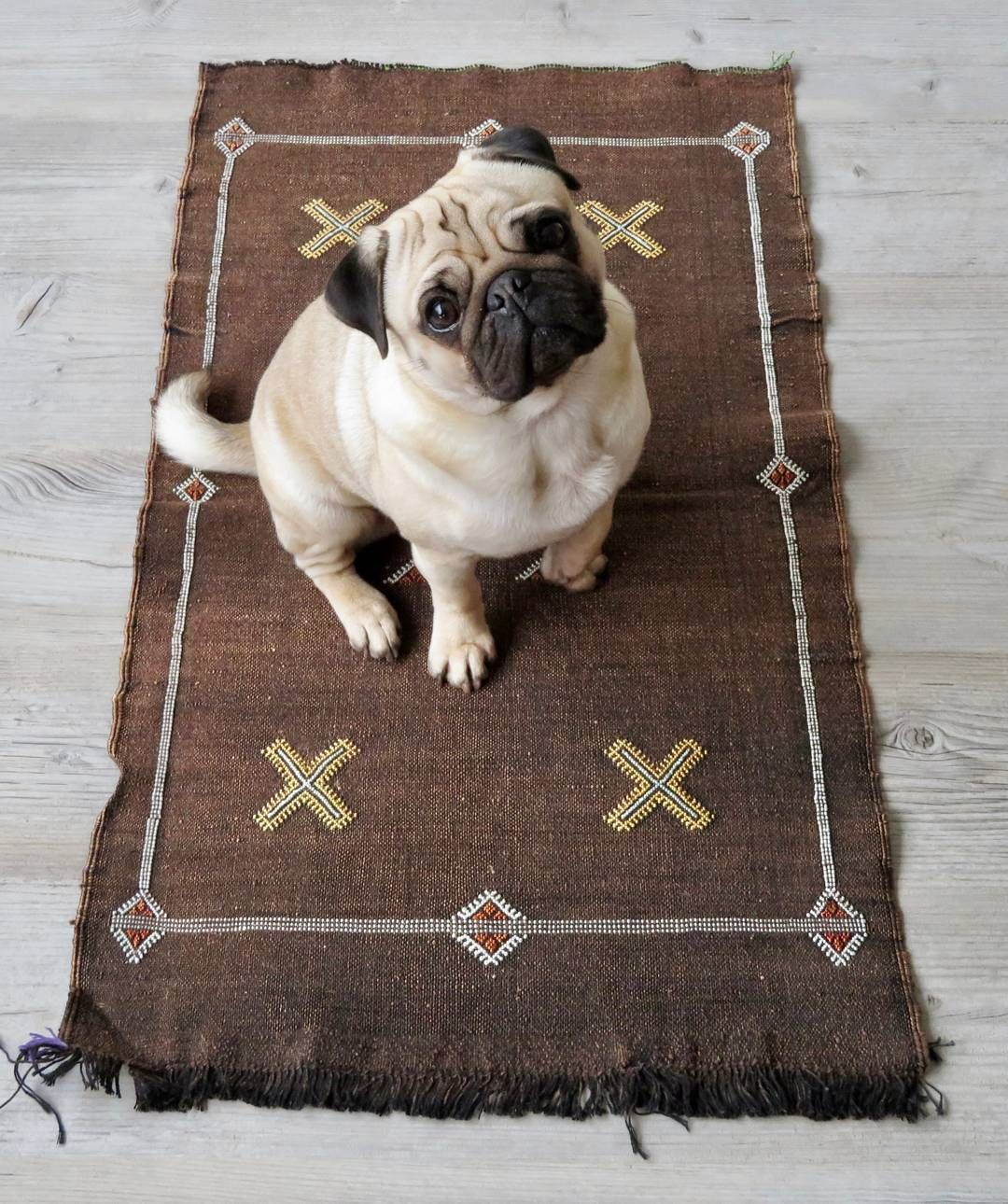 Image result for pug dog in the rug