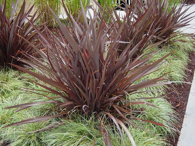 phormium 39 bronze baby 39 evergreen shrubs shrub and plants. Black Bedroom Furniture Sets. Home Design Ideas