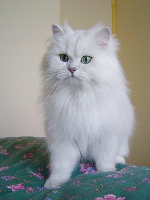 White Long Haired Cat Google Search Persian Cat White Persian Cat Cats