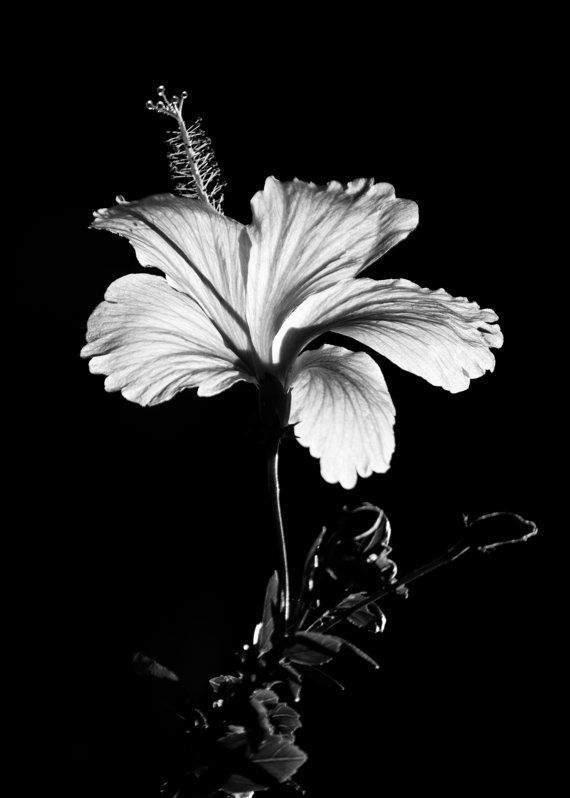 Black And White Hibiscus Flower Photography Floral Nature 8x10 8x12