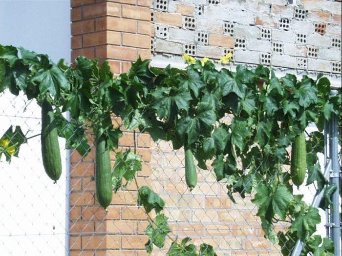 Esponja Vegetal Luffa Esponja Vegetal Huerto En Casa Plantas