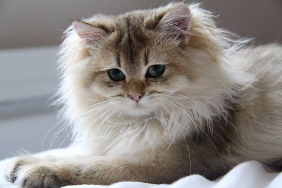 British Longhair Black Golden Ticked Cat Chat Britishlonghair Animal Cattery Elevage Chatterie Breeder Cats British Shorthair Cats Cuddly Animals