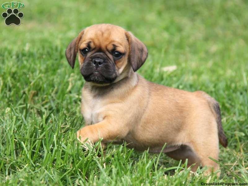 Pug dog price in bangalore dating 2