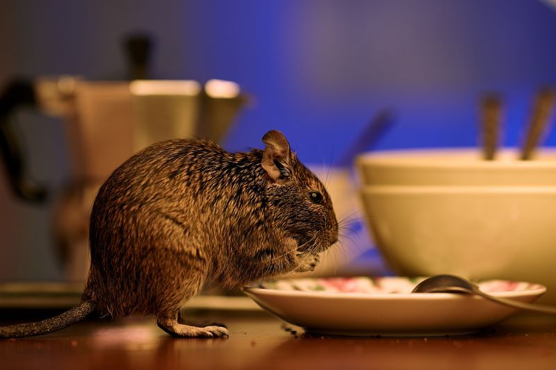 Here Are A Few Quick Signs To Look For To See Whether Squirrels Are On Their Way Into Your Home Https Shumakeran Squirrel Rodent Infestation Animal Control