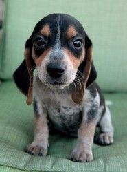 Philis Is An Adoptable Beagle Dog In Cadet Mo Meet Philis A 9