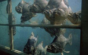 Cult Classic Piranha 1978 Was Filmed At Aquarena Springs In San