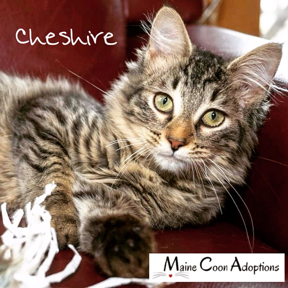 Meet CHESHIRE Four month old male Maine Coon mix loving happy