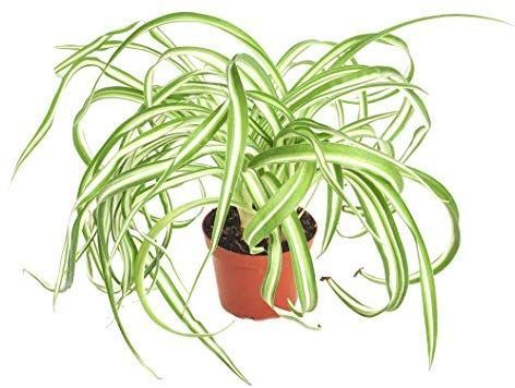 Shop Succulents  quotBonniequot Curly Spider Plant naturally air purifying  Shop Succulents  Bonnie Curly Spider Plant naturally air purifying