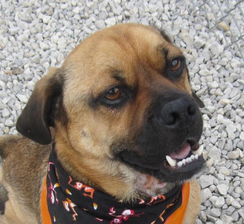 Adopt Jake On I Love My Puggle Pug Beagle Mix Beagle Mix Dogs