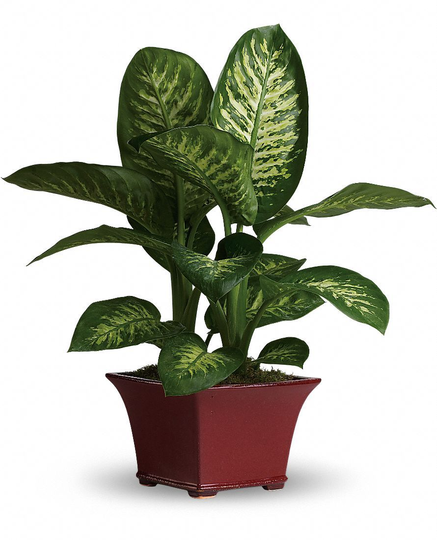 Dumb cane dieffenbachia house plant care picture and for Indoor plant maintenance