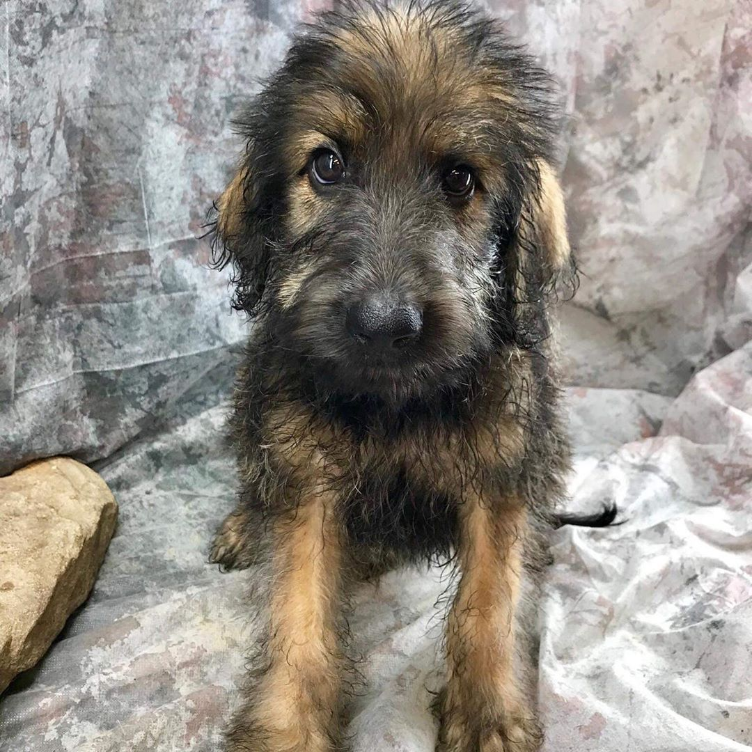 Shepadoodle German Shepherd Poodle Mix Info Puppies Pictures