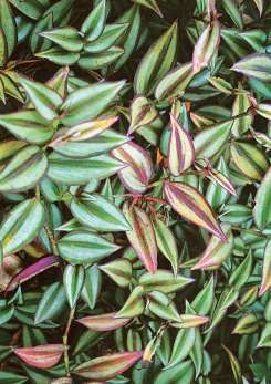 Plantas colgantes que soportan el sol buscar con google for Plantas colgantes exterior sol