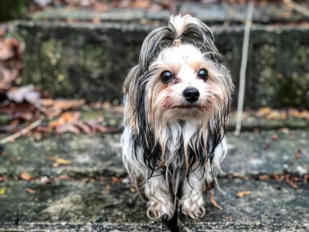 """Biewer terrier 🖤🖤 biewer Yorkie after a simple potty break 😂- Kristina Simpson (@charcoalforestfrenchies) on Instagram: """"And this is why she has the nickname """"Mop"""" this is what happens with zoomies in a flooded yard for…"""""""