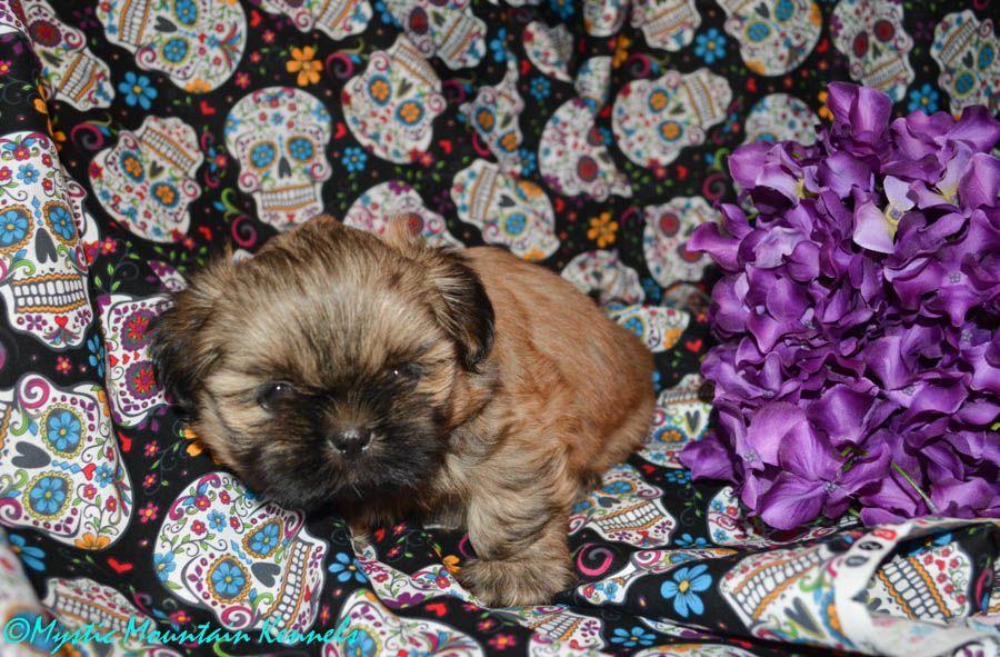 Pin Em Shih Tzu Puppies