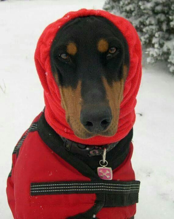 #Doberman   Baby It's Cold Outside!