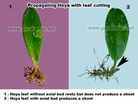 Hoya Propagation Google Search Hoya Plant Leaves Plants