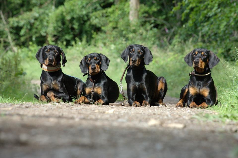 Austrian Black And Tan Hound Osterreichische Glatthaarige Bracke Vieraugl Brandlbracke Dogs Puppy Black And Tan Haarige