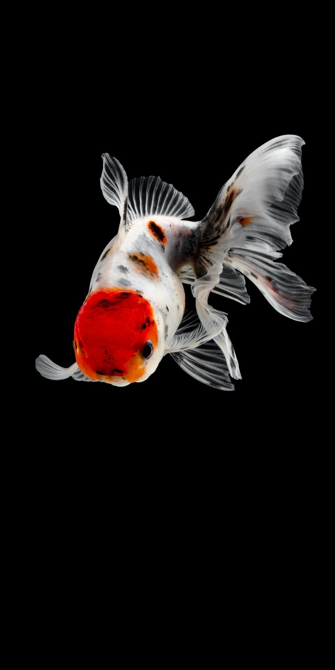 Peces Japoneses Fish Wallpaper Goldfish Wallpaper Colorful Fish