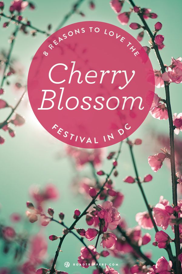 8 Facts About Washington Dc S Cherry Blossom Festival Cherry Blossom Festival Cherry Blossom Spring Trip