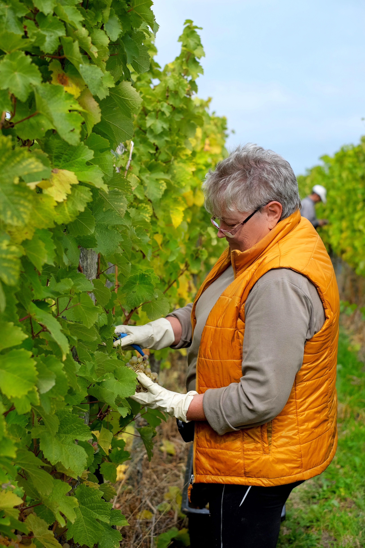 Weinhaus Leonetti bei der Weinlese, beim Herbsten  in Neuweier / Mauerberg / Badischer Wein