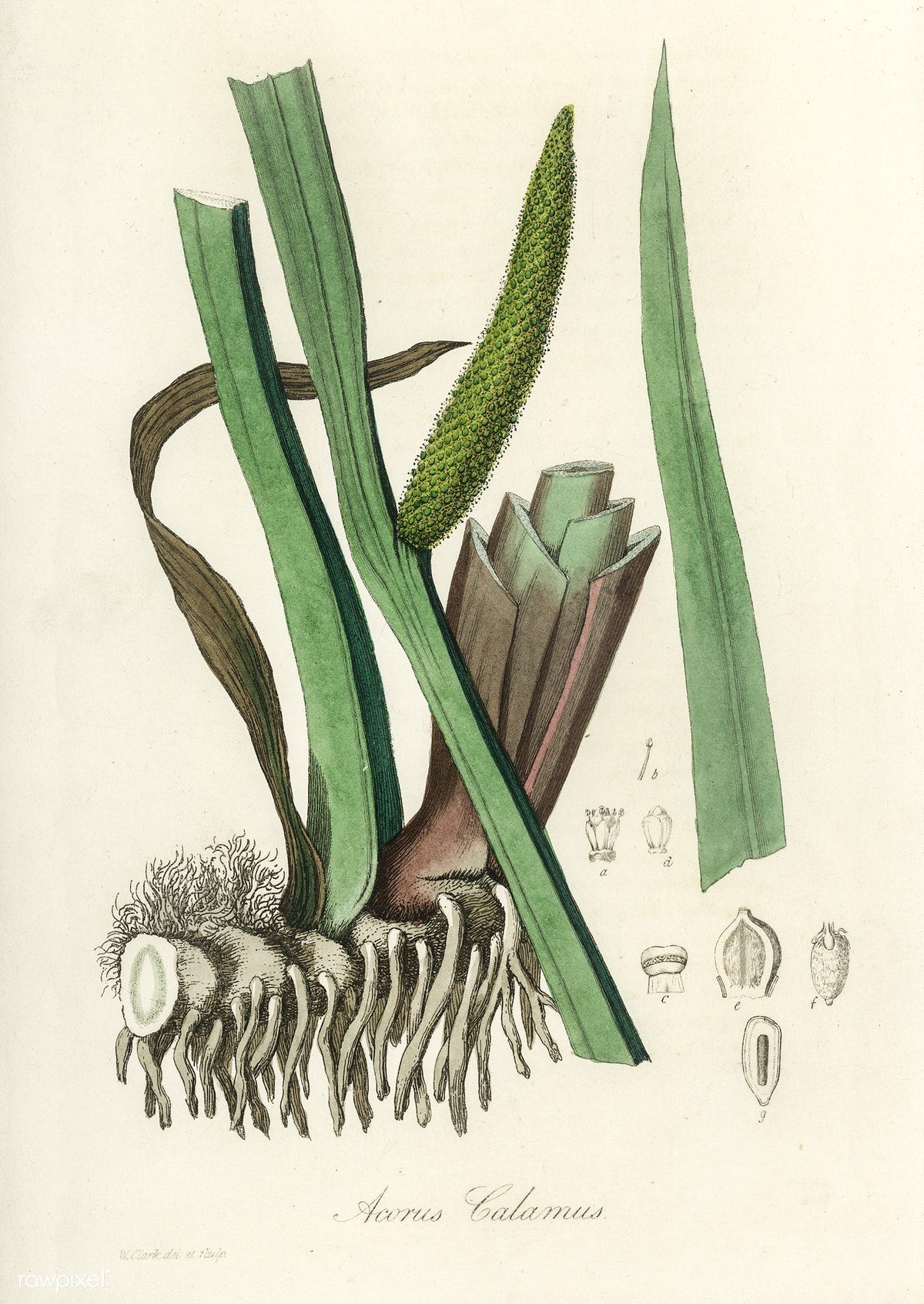 Sweet Flag Acorus Calamus Illustration From Medical Botany 1836 By John Stephenson And James Morss Churchill Free Image Acorus Free Illustrations Botany