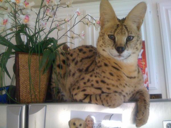 Domestic Wild Cats Stud Meow Board Pinterest