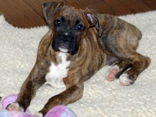 Fantastic Brindle Boxer Bow Adorable Dog - fe459511d6fa3ee7ef4f4b636ec621d2  Graphic_792768  .jpg