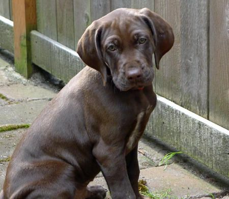 Solid Liver German Shorthaired Pointer