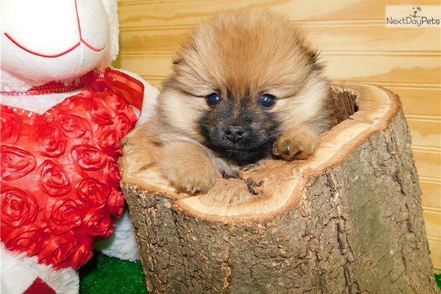 Female Pom Pomeranian puppy for sale near Chicago