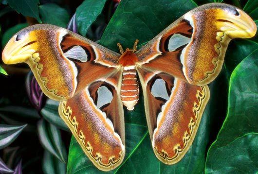 collection PAIR unmounted butterfly Danaus genutia genutia YUNNAN CHINA