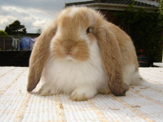 marmalade french lop...I used to raise big, beautiful ...
