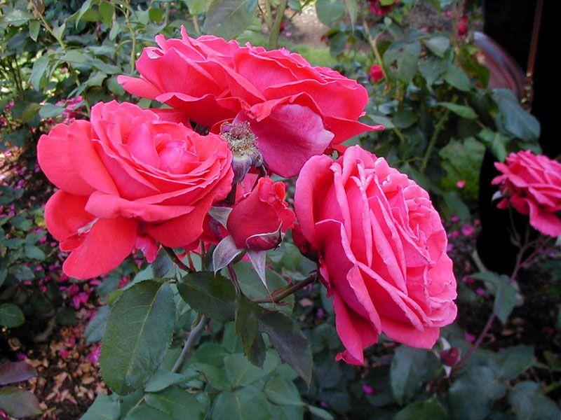 Google Image Result For Http 3 Bp Blogspot Com Qrddgheb3fo Tkoeatxywxi Aaaaaaaaatc Zqzbv8dfdze S1600 086 252b 252bred Landscaping Inspiration Flowers Rose