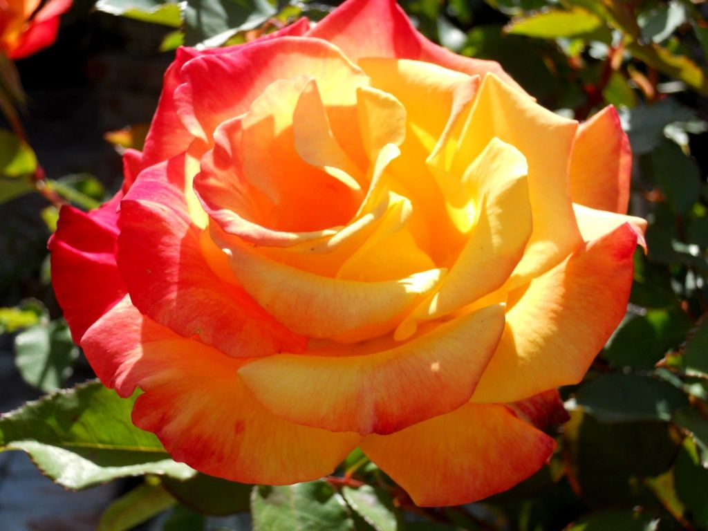 Sutters Gold - HT, orange blend, 33 petals, 1950, rated 6.8 (average) by ARS.