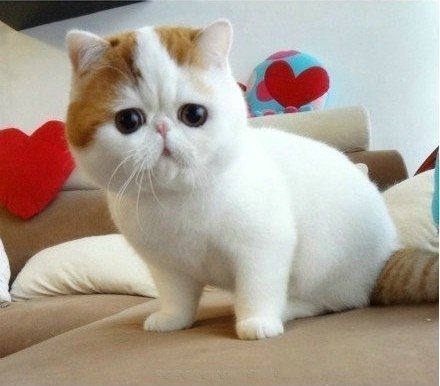 Blue Persian Male Kitten For Sale Kitten For Sale Persian Kittens For Sale Persian Cats For Sale