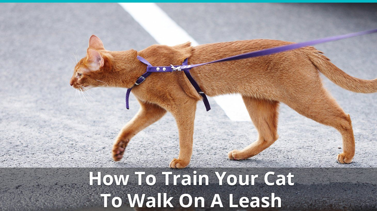 Want To Take Your Cat Out For A Walk You Better Put Him On A Leash Then But How Do You Train Your Cat To Be Ok Wa Cat Training Cat