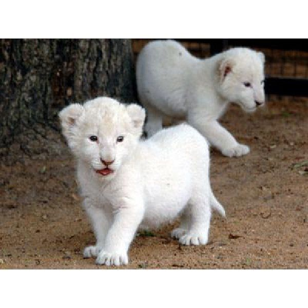 white tigers and white panthers | white tigers and white ...
