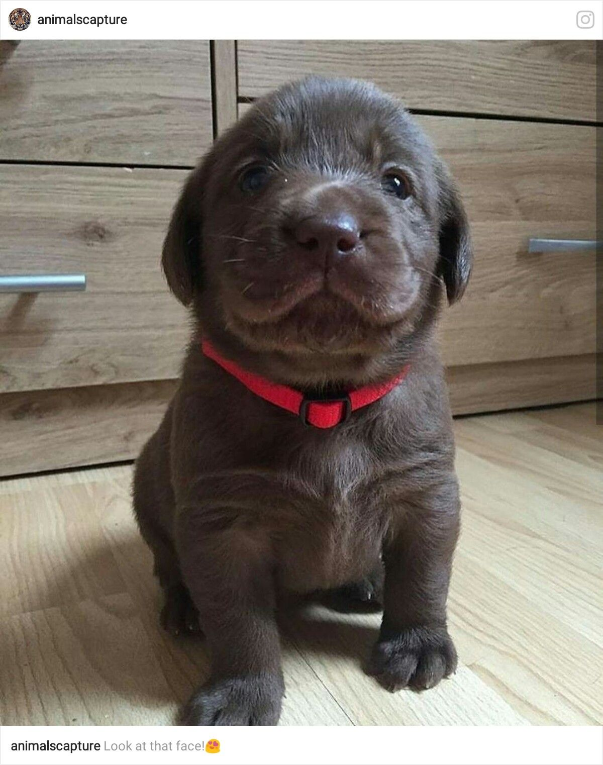 Great Chocolate Lab Chubby Adorable Dog - fe4834a798a8ef574176a651ca9fa451  Collection_65517  .jpg