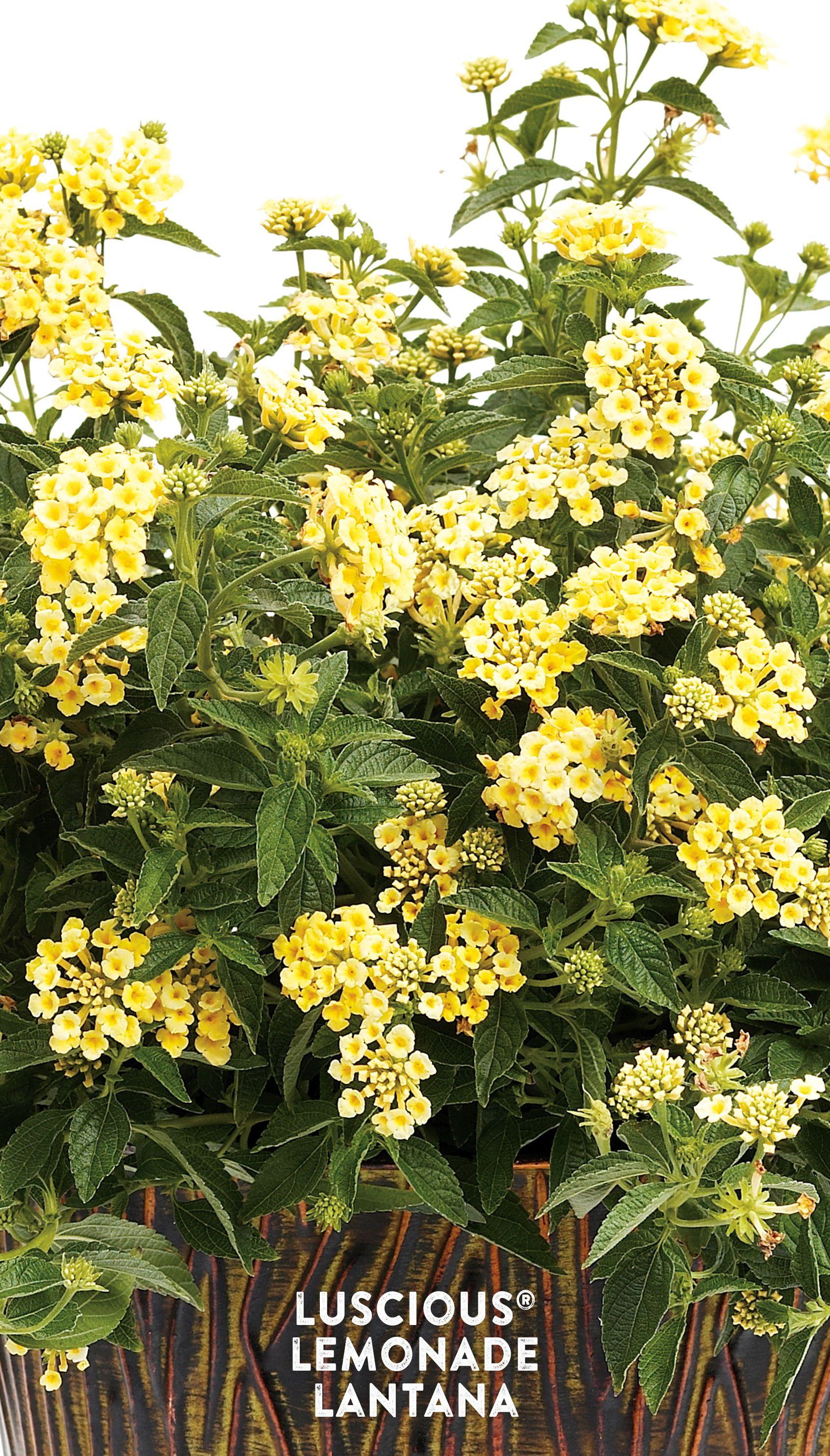 Bright Sunny Lantana For Pollinators Lantana Plants Yellow Lantana
