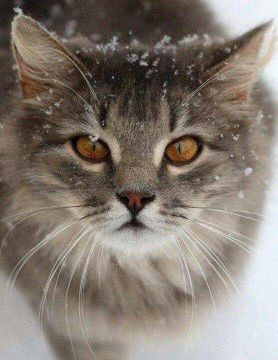 So pretty! #cat #cute #cats =^..^= www.zazzle.com/kittyprettygifts