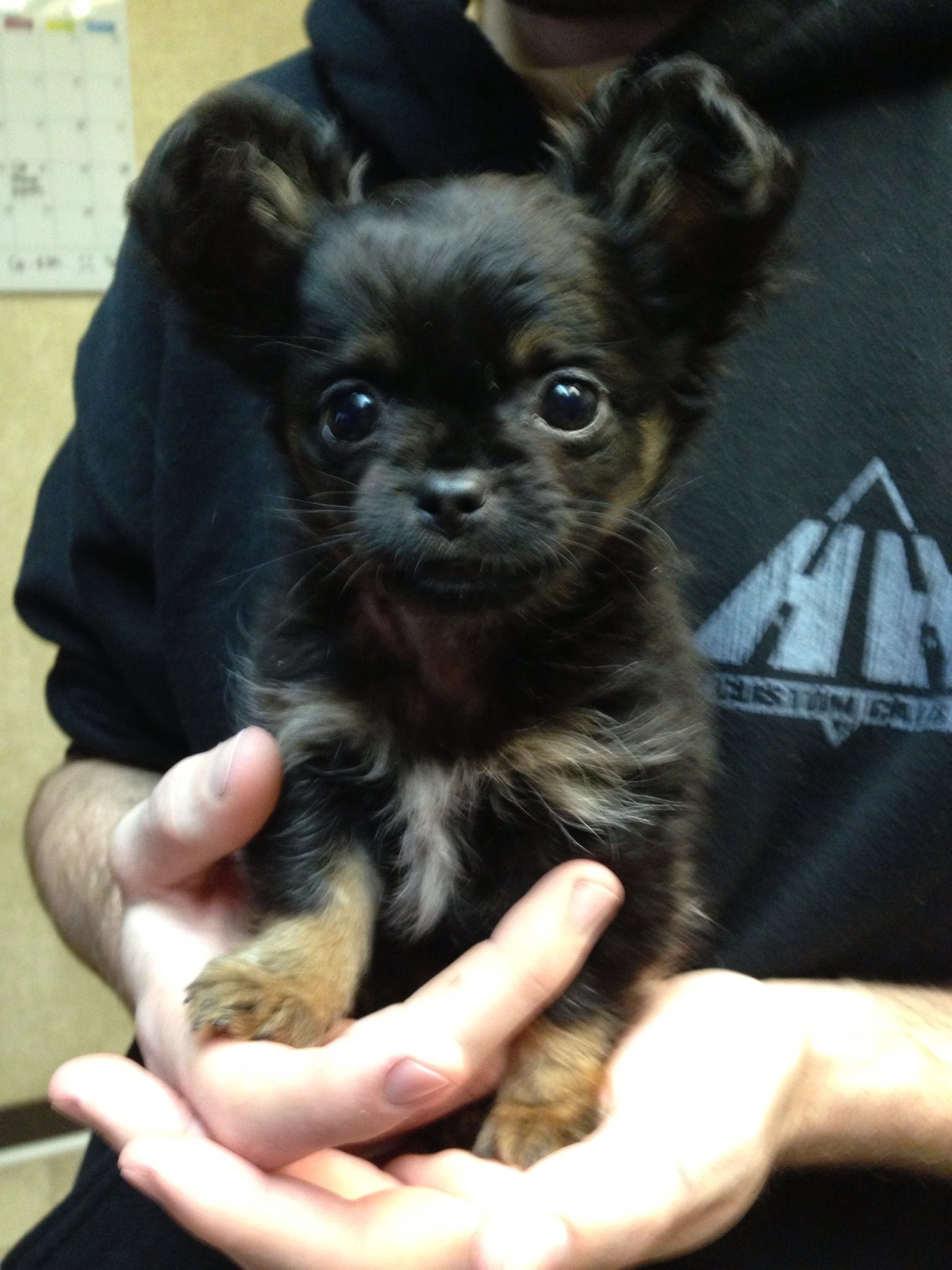 Long Haired Chihuahua This Looks Just Like My Dog When She Was A Puppy Chihuahua Chihuahua Chihuahua Puppies Baby Chihuahua