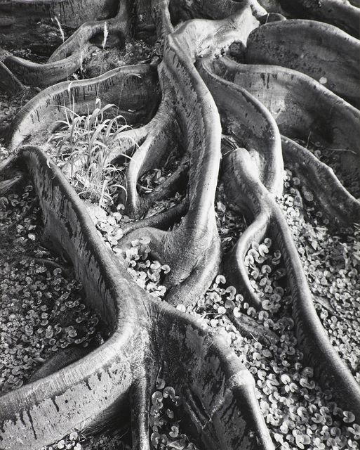 Photo of Ansel Adams | Roots, Foster Garden, Honolulu, Hawaii  (1948) | Available for Sale | Artsy