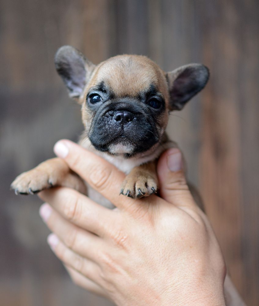 French Bulldog Puppies French Bulldog Puppies Bulldog Cute Puppies
