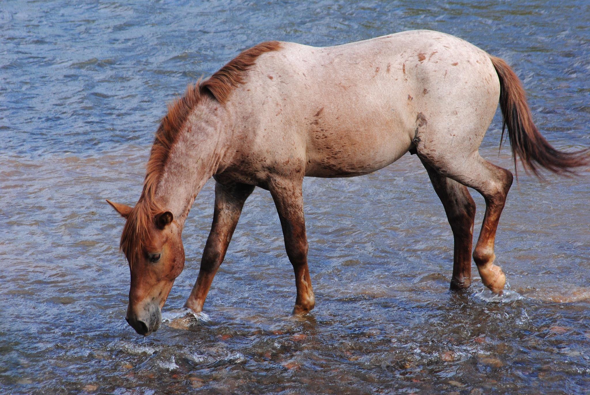 Wild roan mustang stallion