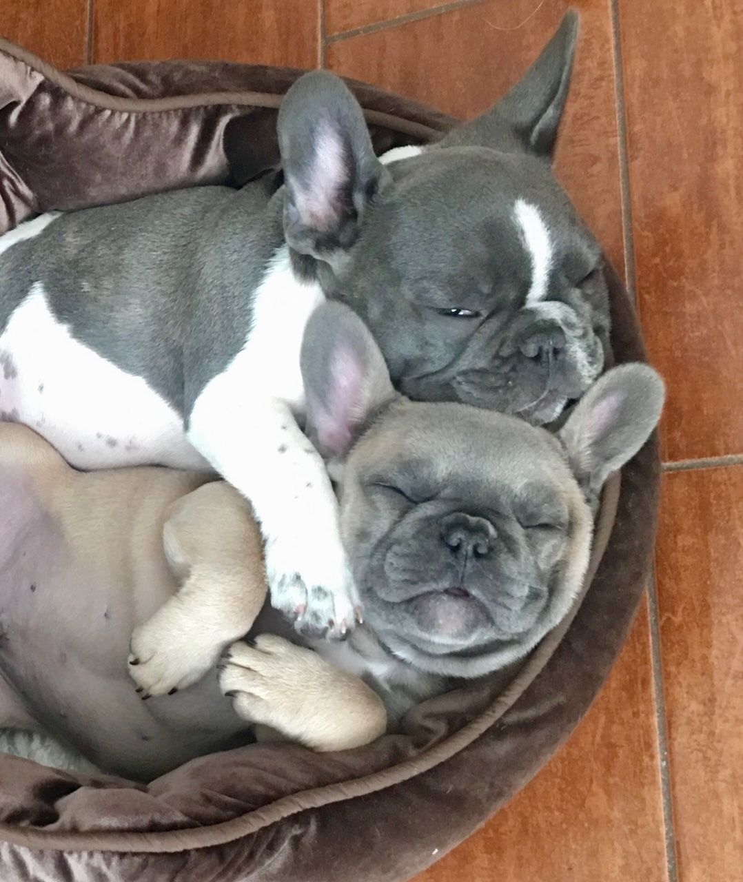 Past Puppies Of Melodie Henker French Bulldog Puppies Bulldog