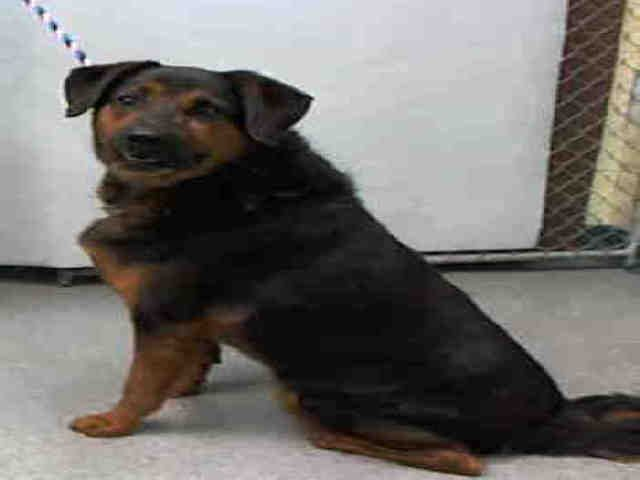 Manhattan center REMY – A1088875  MALE, BLACK / BROWN, ROTTWEILER MIX, 6 yrs STRAY – STRAY WAIT, NO HOLD Reason STRAY Intake condition UNSPECIFIE Intake Date 09/06/2016, From NY 10475, DueOut Date09/09/2016,