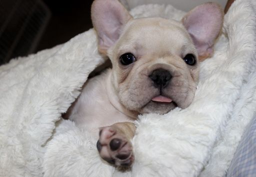 French Bulldog Puppy For Sale In Miami Fl Adn 43266 On