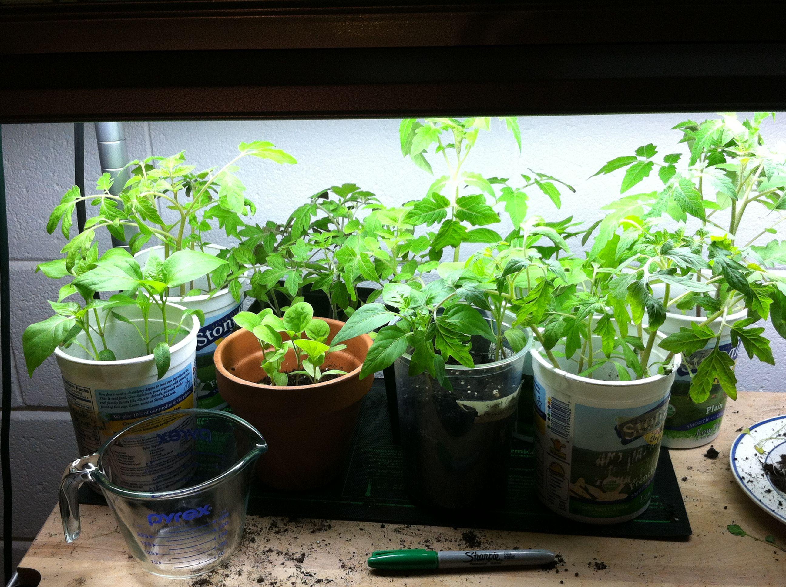 Indoor Vegetable Gardening Ideas Part - 17: Indoor Vegetable Gardening For Beginers | Indoor Organic Gardening |  Pinterest | Indoor Vegetable Gardening, Organic Gardening And Vegetable  Garden